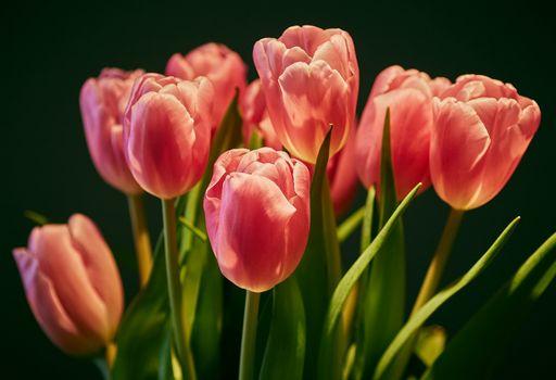 Фото бесплатно тюльпан, тюльпаны, цветок