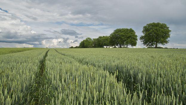 Photo free crop, wheat, rice field