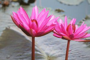 Фото бесплатно Розовый, вода, Лилии