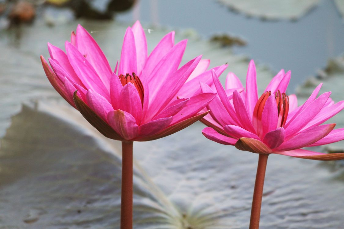 Photos for free Pink, water, Lilies - to the desktop
