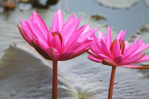 Бесплатные фото Розовый,вода,Лилии,Пруд,Главная,двор,цветы,утро,Дневной свет,цветок,Флора,растение