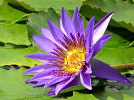 Фото бесплатно цветы, кувшинки, цветок