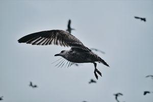 Фото бесплатно птицы, дикие животные, чайка