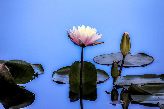 Screensaver water lily, water lilies on the screen