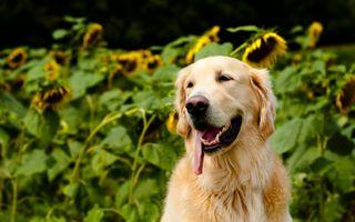 Фото бесплатно собака, остальное, лабрадор-ретривер
