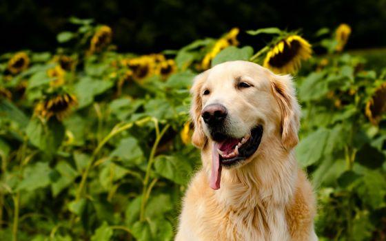 Photo free dog, rest, labrador retriever
