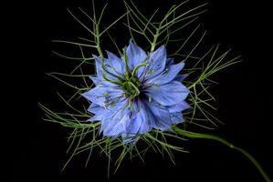 Фото бесплатно Nigella, цветок, цветы