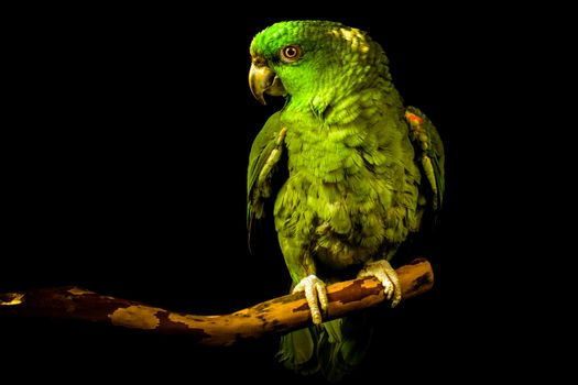 Photo free Ultrabay Amazon parrot, black background, feathers