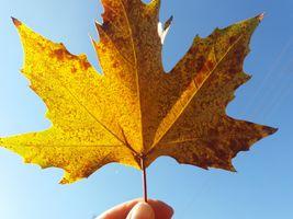 Фото бесплатно лист, клен, осень