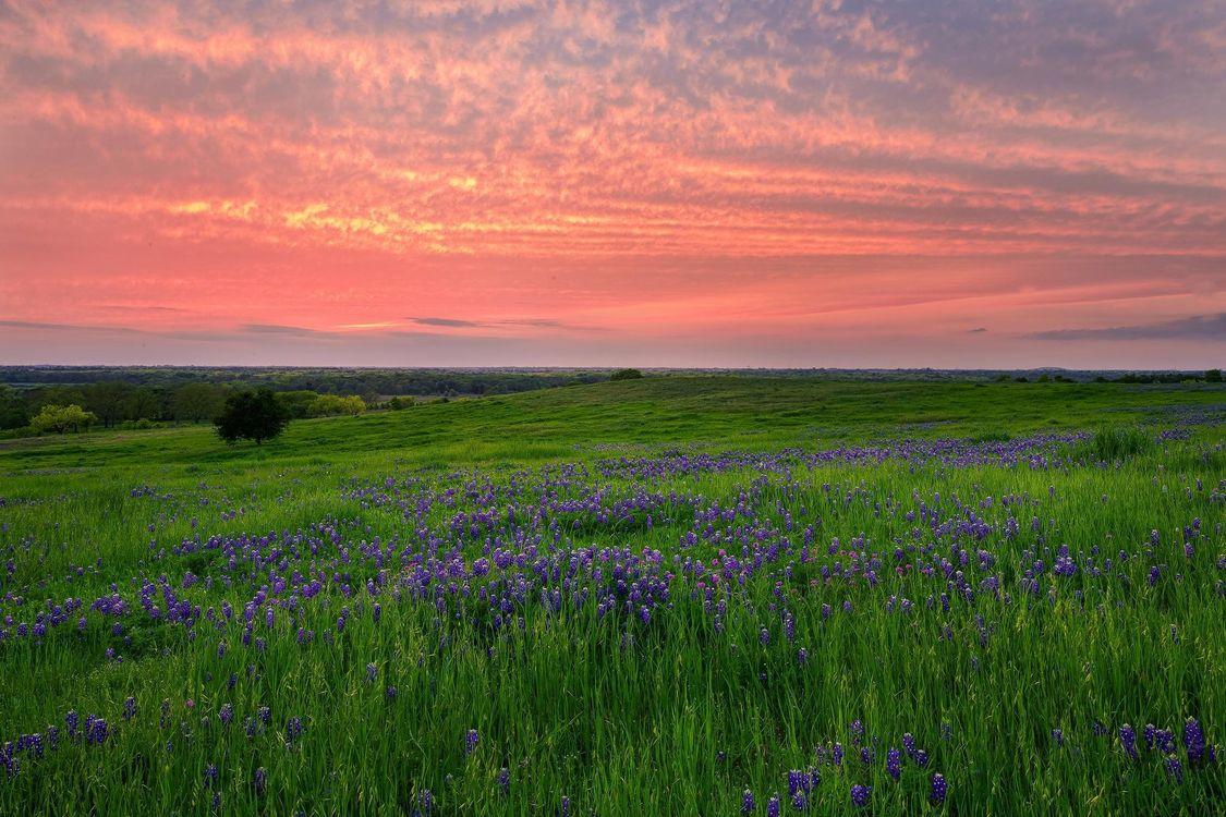 Фото бесплатно закат, поле, цветы, люпин, пейзаж, пейзажи
