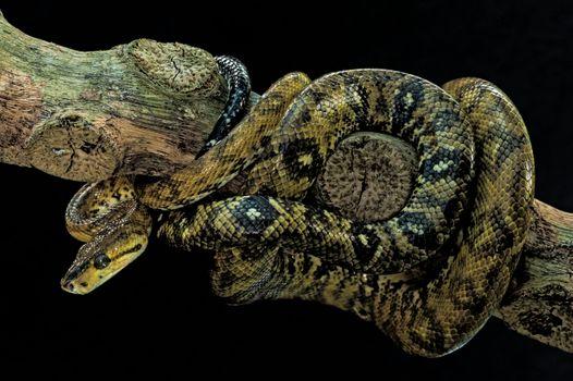 Photo free snake, black background, boa