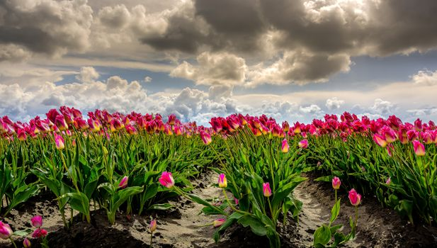 Photo free tulips, pink, clouds