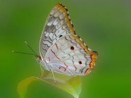 Бесплатные фото Павлиново-белая бабочка,насекомое