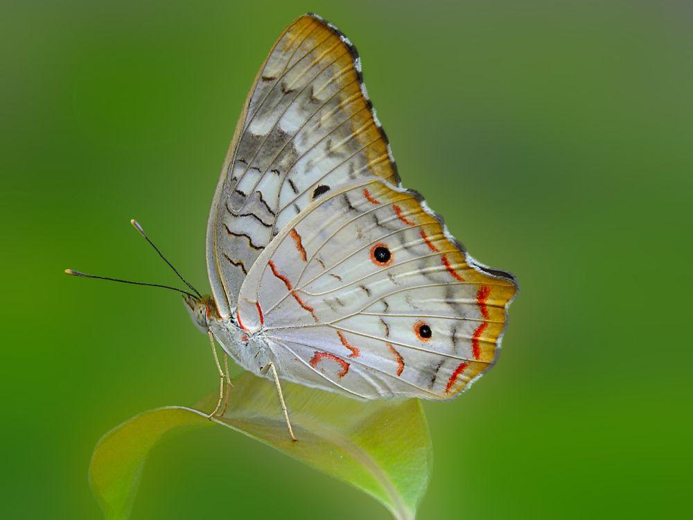 Фото бесплатно Павлиново-белая бабочка, насекомое - на рабочий стол