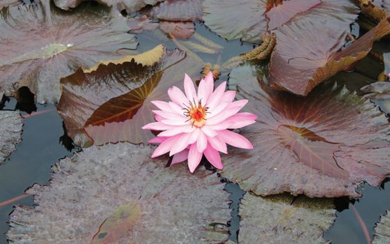 Photo free pond, water lily, pink