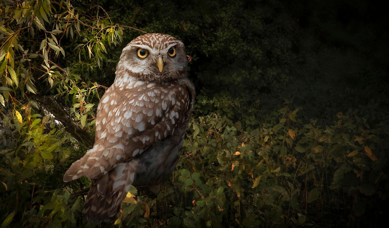 Free photo Little owl, bird, predator - to desktop