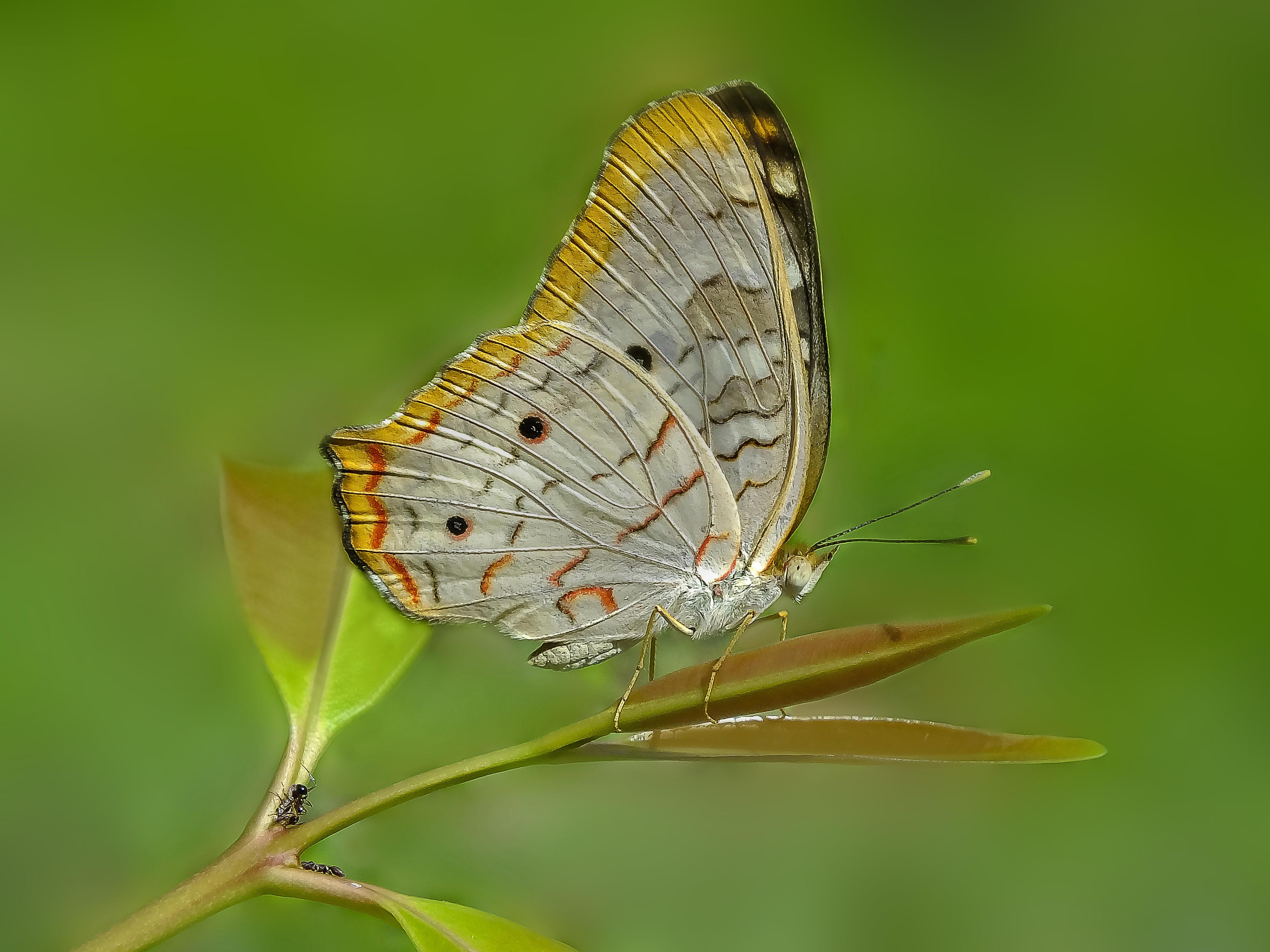 Обои Павлиново-белая бабочка, насекомое