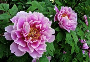 Фото бесплатно пион, пионы, цветок