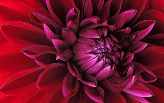 Photo free red, flowering plant, flora