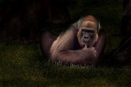 орангутанг,обезьяна,животное