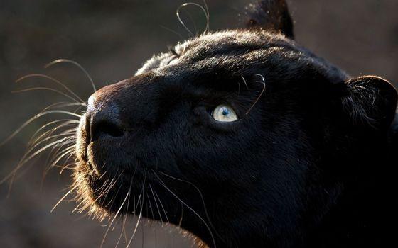 Фото бесплатно усы, черная кошка, нос