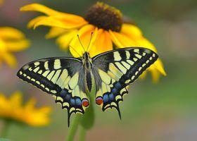 Заставка насекомое, бабочка на айфон