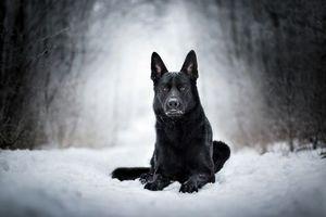 Бесплатные фото Немецкая овчарка,собака,домашнее животное