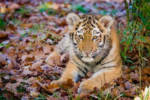 Заставки тигренок, лежа, листья