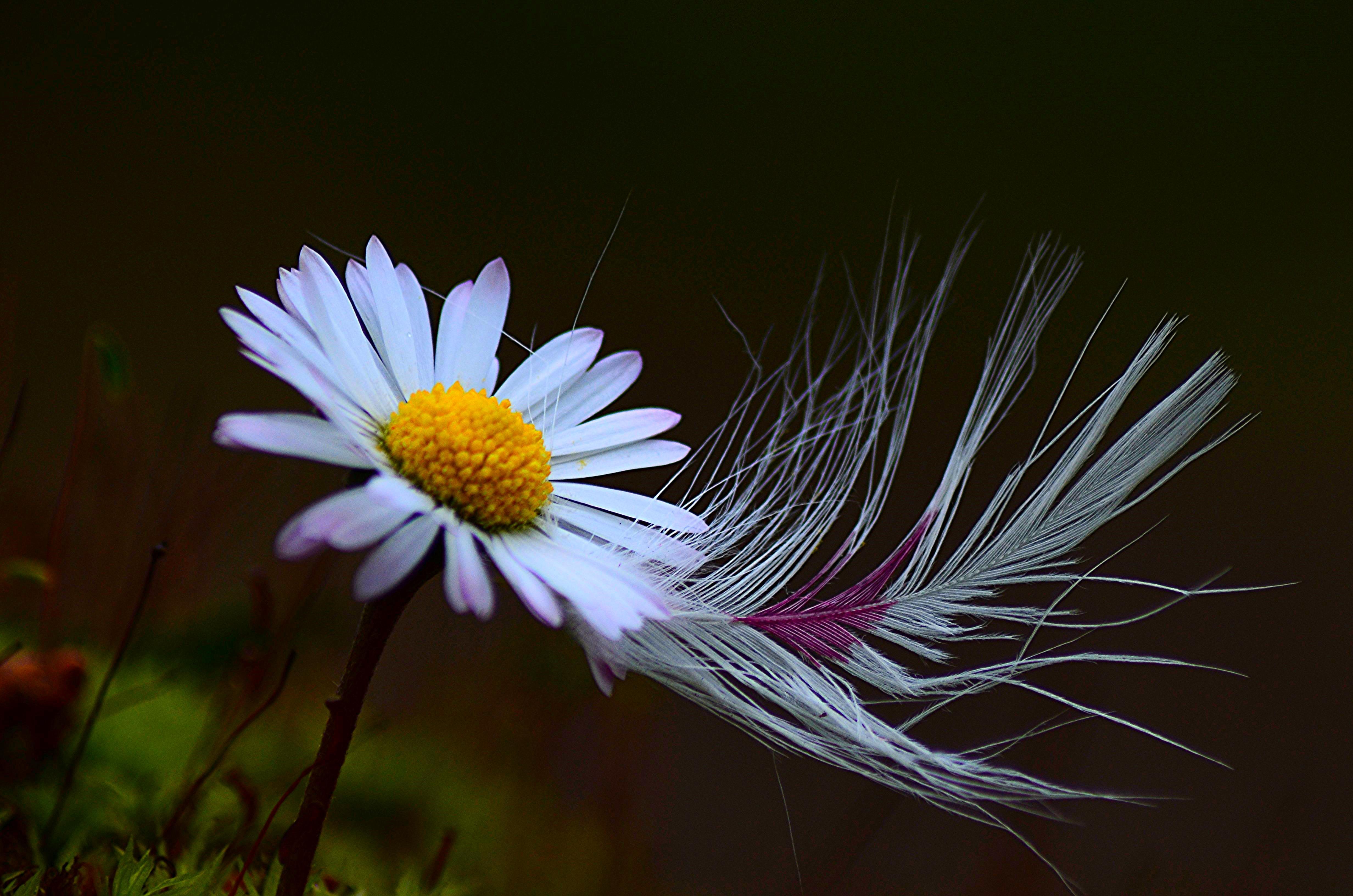 Обои цветок, ромашка, перо, флора