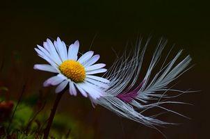Фото бесплатно цветок, ромашка, перо