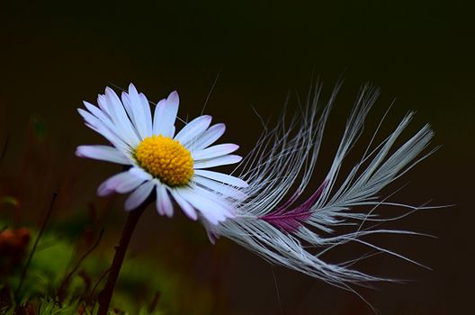Photo free flower, daisy, feather