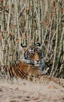 Фото бесплатно тигр, большие кошки, лежа