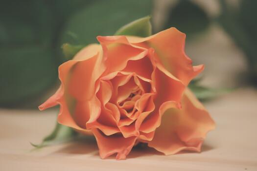 Фото бесплатно обои роза, оранжевый, близко
