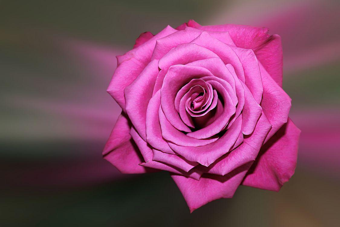 Фото бесплатно роза, розы, цветок, цветы, цветочный, цветочная композиция, флора, красивые, красивый, цвет, оригинальный, красочный, лепестки, цветущие, цветение, цветы