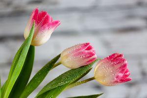 Троица тюльпанов · бесплатное фото