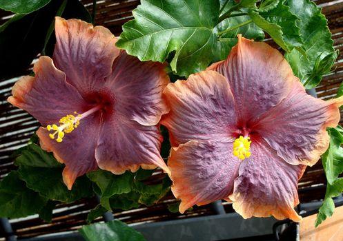 Фото бесплатно гибискус, цветения, крупным планом