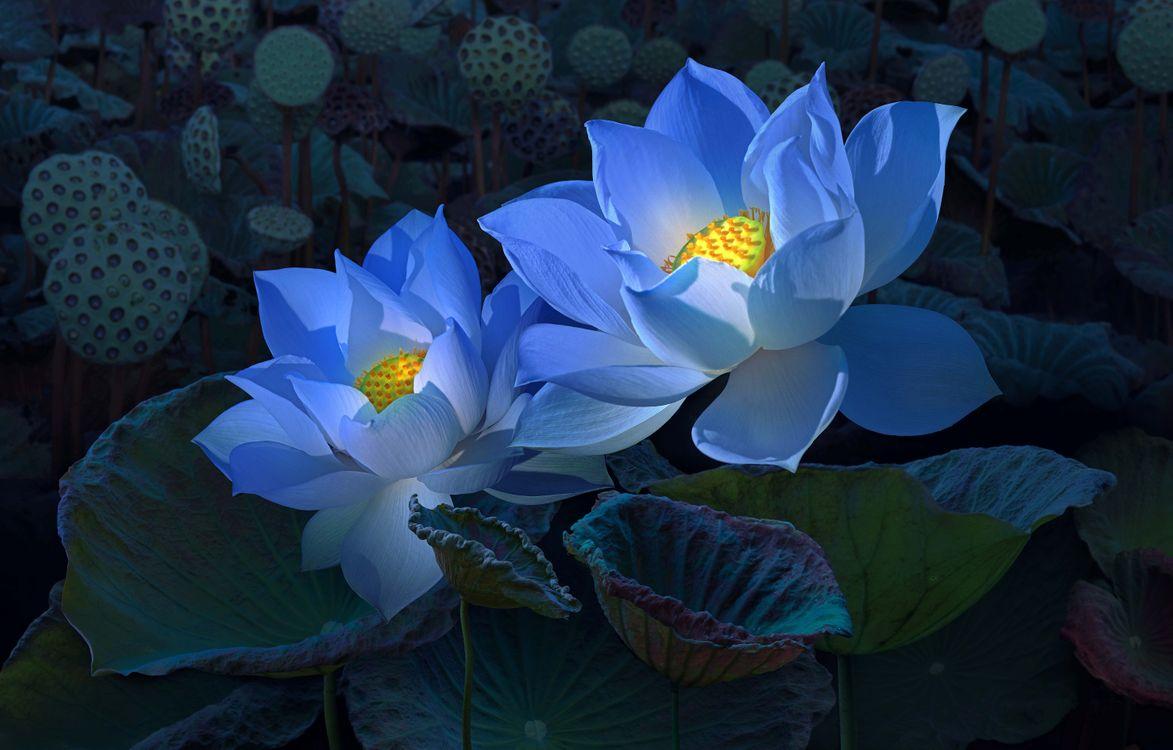 Фото бесплатно лотос, лотосы, цветы, флора, макрос, листья, освещение, тёмный, природа, цветы