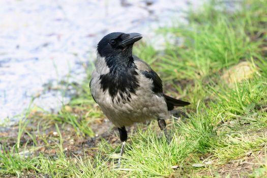 Фото бесплатно птицы, вороны, трава