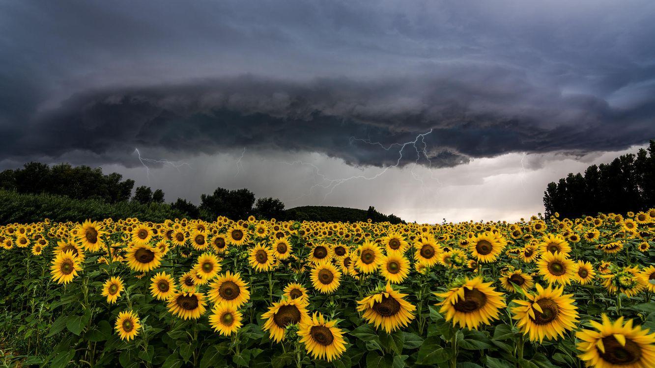 Фото бесплатно поле, подсолнухи, тучи, молния, пейзаж, пейзажи