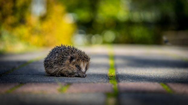 Photo free hedgehog, road, blurred background