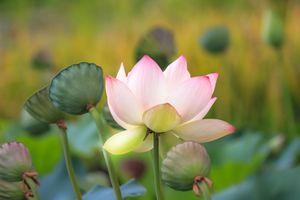 Фото бесплатно Lotus, лотос, лотосы, водоём, цветы, цветок, флора, водяная красавица, красивый цветок, красивые цветы