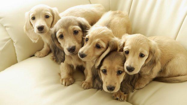 Photo free puppies, sweet, white
