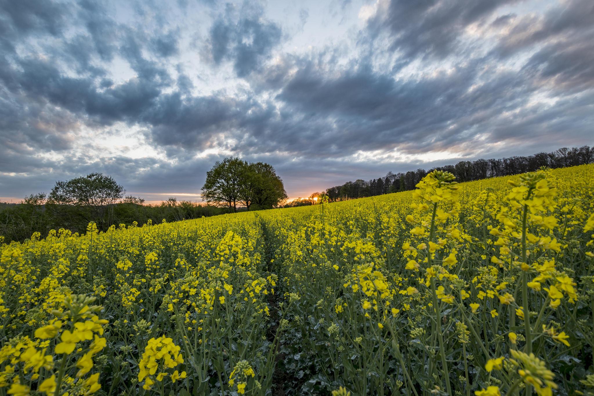 Обои поле, цветы, закат, деревья