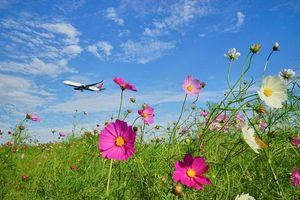 Бесплатные фото поле, самолёт, цветы, Цветы космея, Космос, Космея, флора