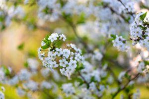 Вишня весной · бесплатное фото