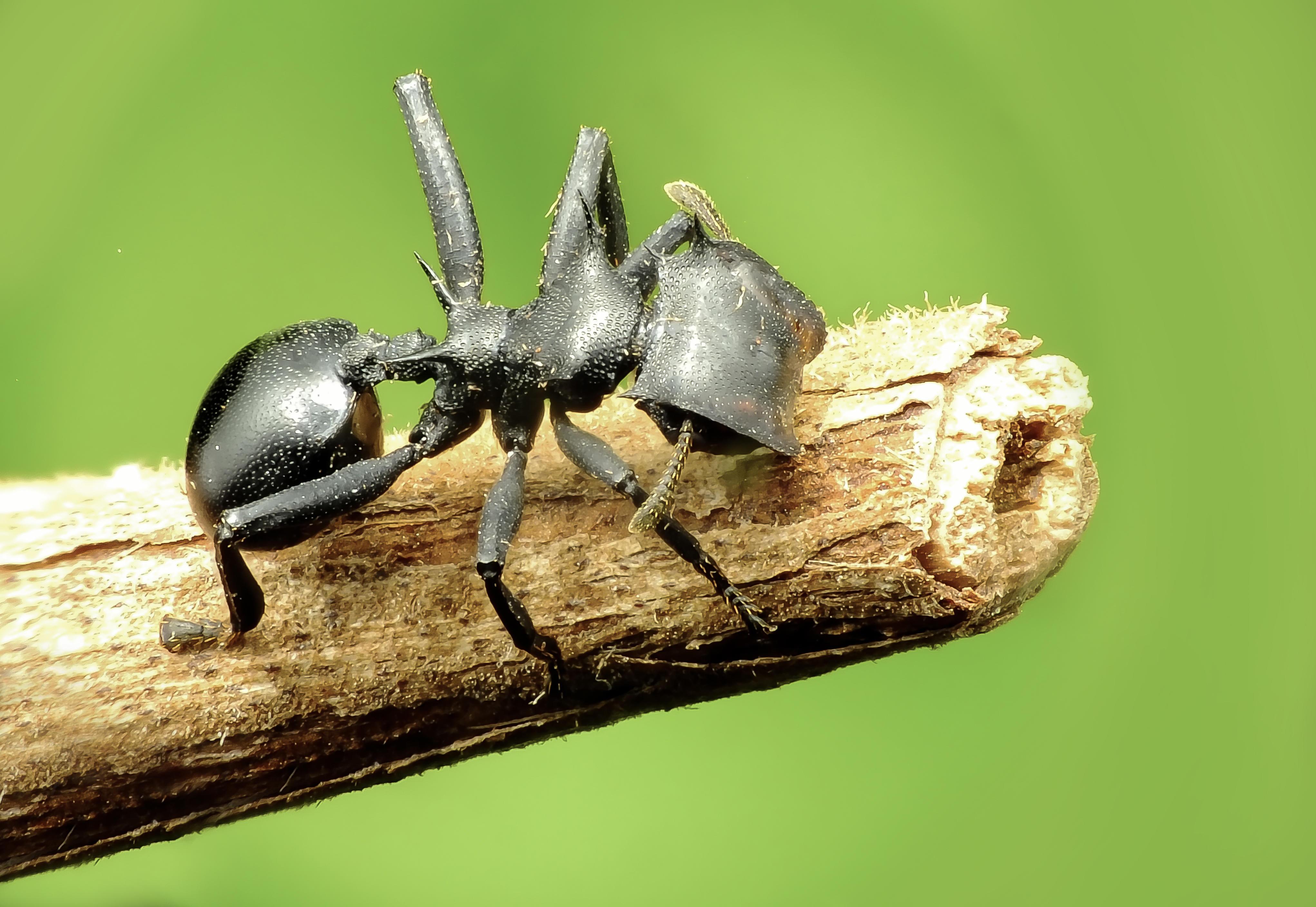 Обои Cephalotes specularis, вид древесных муравьёв, рода Cephalotes, из подсемейства Myrmicinae