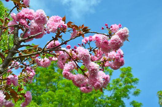 Russian Sakura · free photo