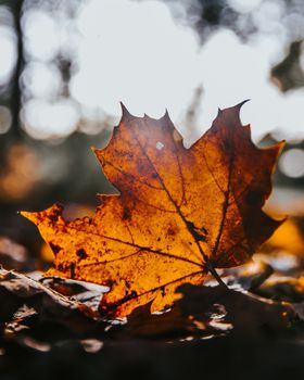 Photo free leaf, fall, maple