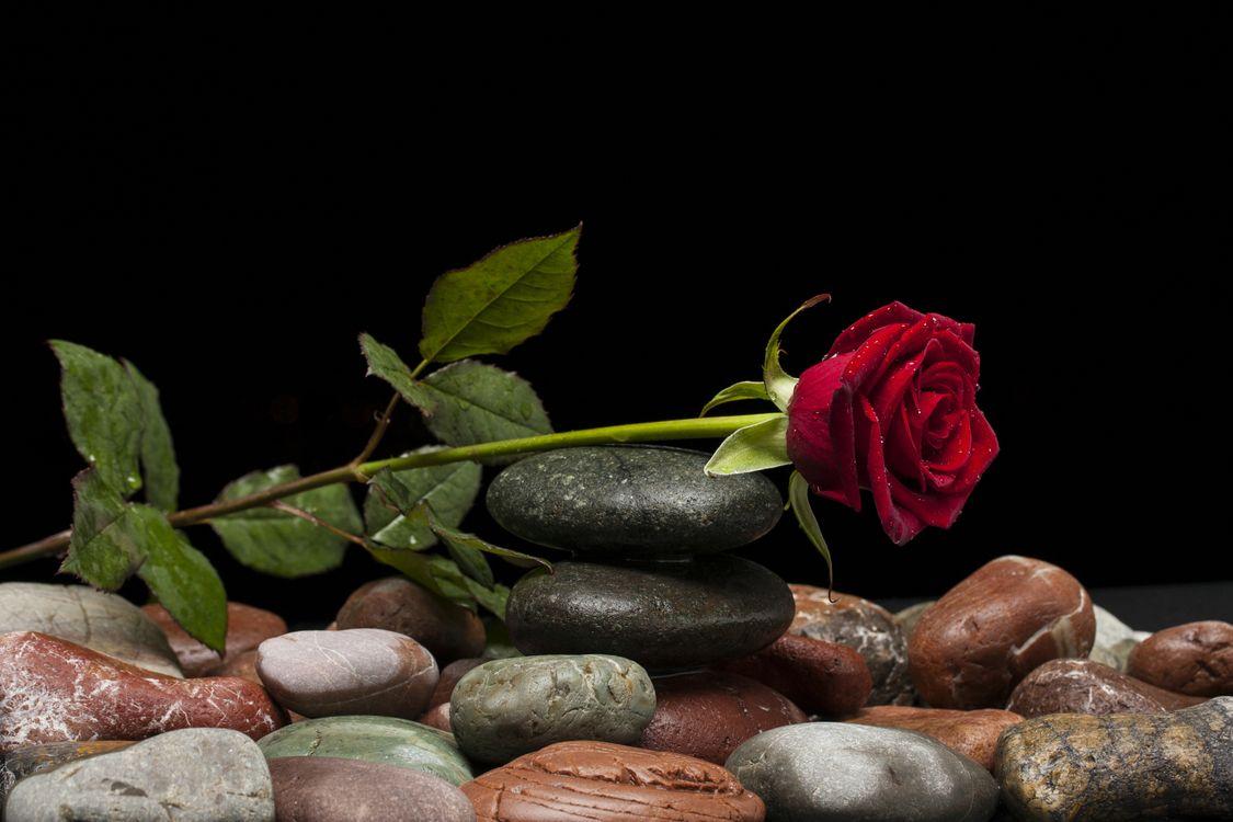Фото бесплатно камни, розы, черный фон - на рабочий стол