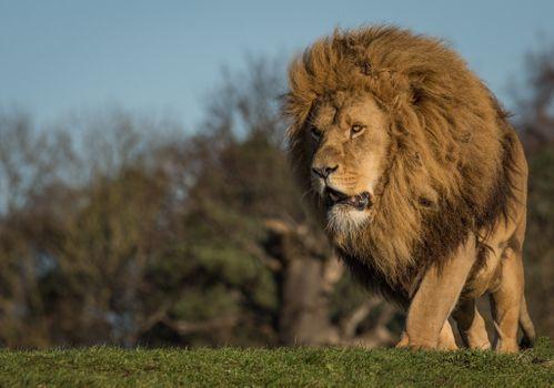 Фото бесплатно Лев, гулять, большие кошки